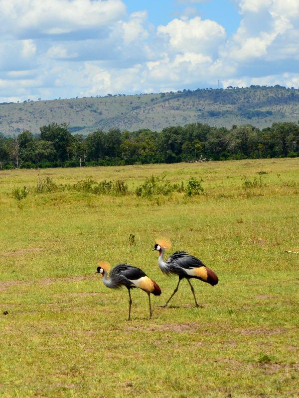 Венценосные журавли в национальном парке Масаи-Мара, Кения / Фото из Кении