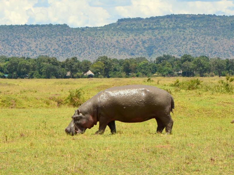 Гиппопотам в национальном парке Масаи-Мара, Кения / Фото из Кении