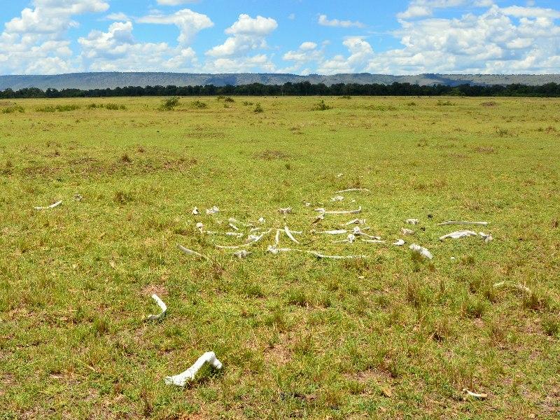 Кости животных в национальном парке Масаи-Мара, Кения / Фото из Кении