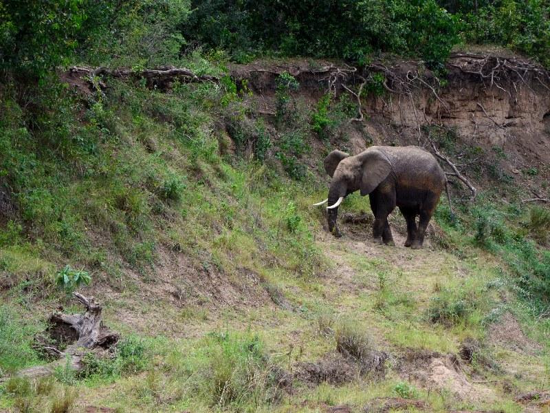 Слон на побережье реки Мара, Кения / Фото из Кении