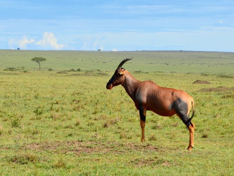 Антилопа хартбист Лихтенштейна в национальном парке Масаи-Мара, Кения / Фото из Кении