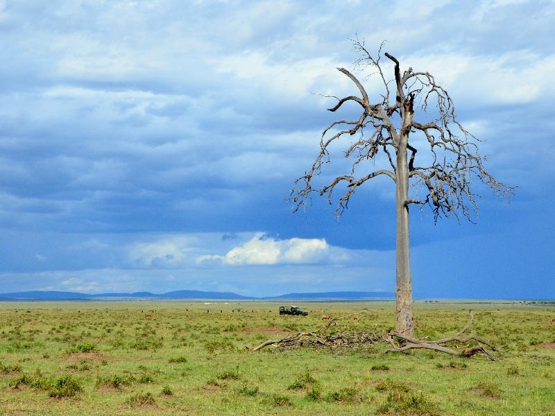 Дерево в национальном парке Масаи-Мара, Кения / Фото из Кении