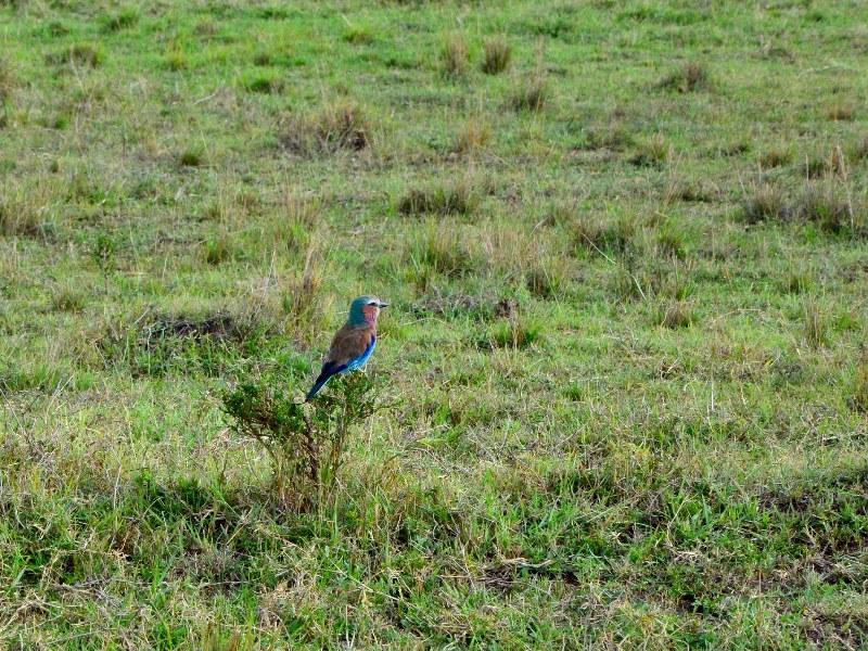 Птица в национальном парке Масаи-Мара, Кения / Фото из Кении