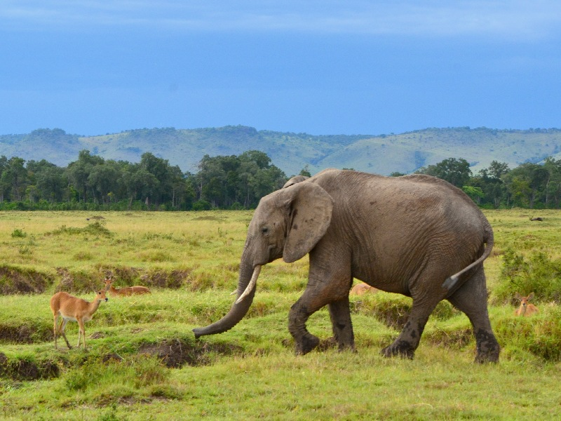 Слон в национальном парке Масаи-Мара, Кения / Фото из Кении