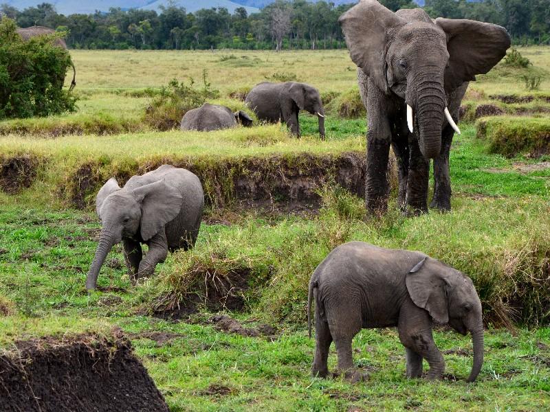 Африканские слоны в национальном парке Масаи-Мара, Кения / Фото из Кении