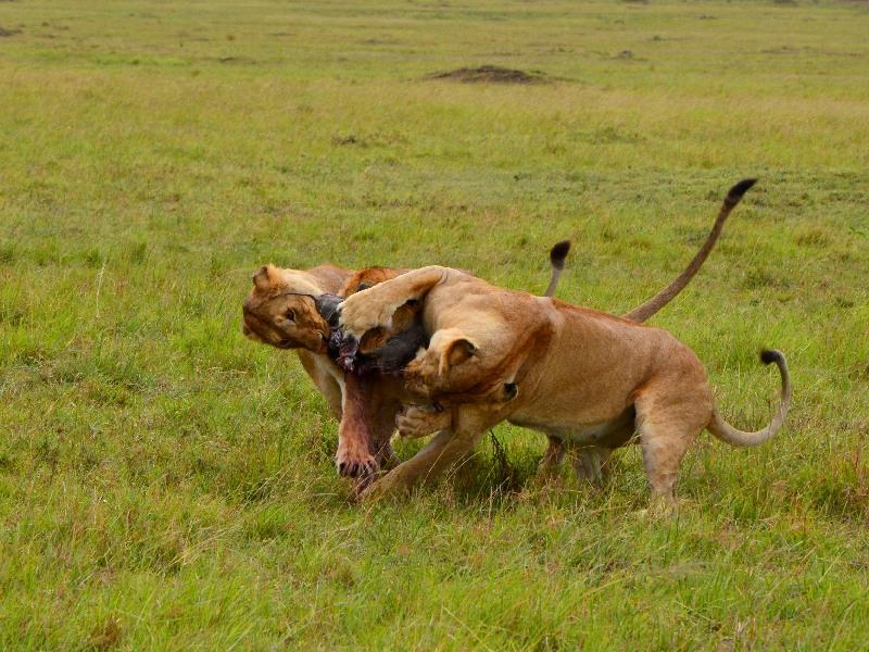 Львы делят добычу / Фото из Кении