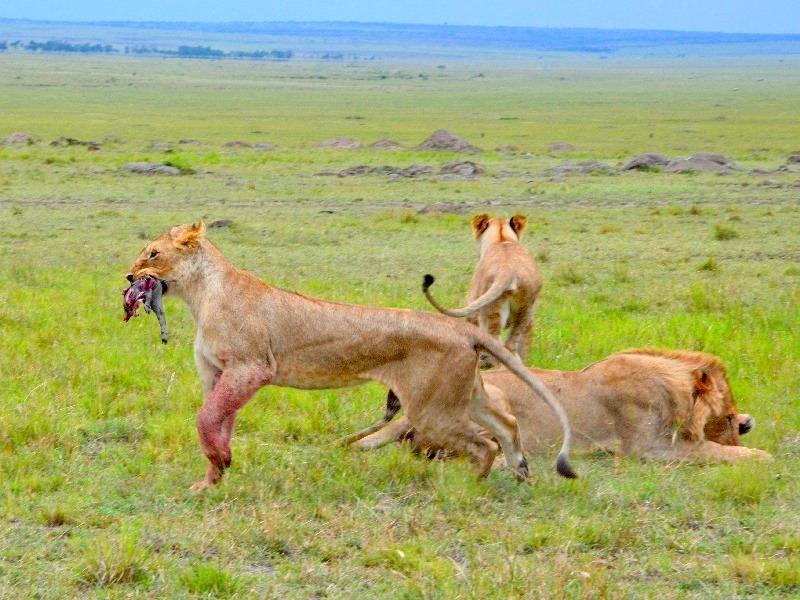 Львы завершили охоту / Фото из Кении