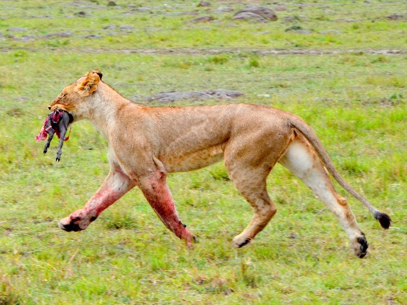 Львица с добычей / Фото из Кении