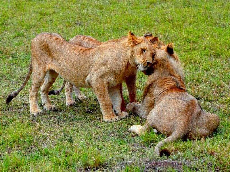 Романтично настроенная пара львов / Фото из Кении