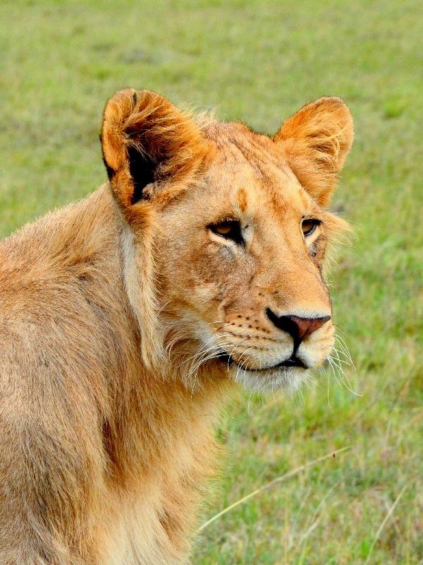 Лев без гривы в национальном парке Масаи-Мара, Кения / Фото из Кении