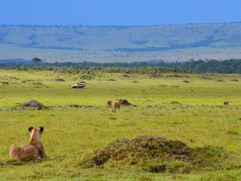 Охота львов в национальном парке Масаи-Мара, Кения / Фото из Кении