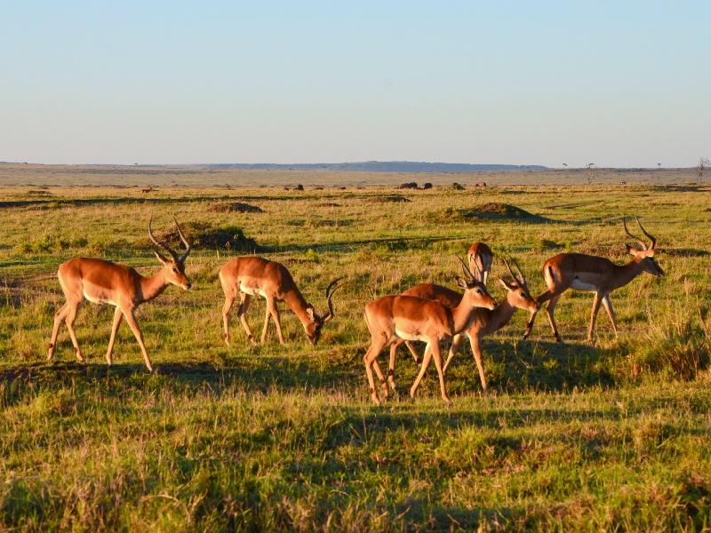 Стадо газелей в национальном парке Масаи-Мара, Кения / Фото из Кении