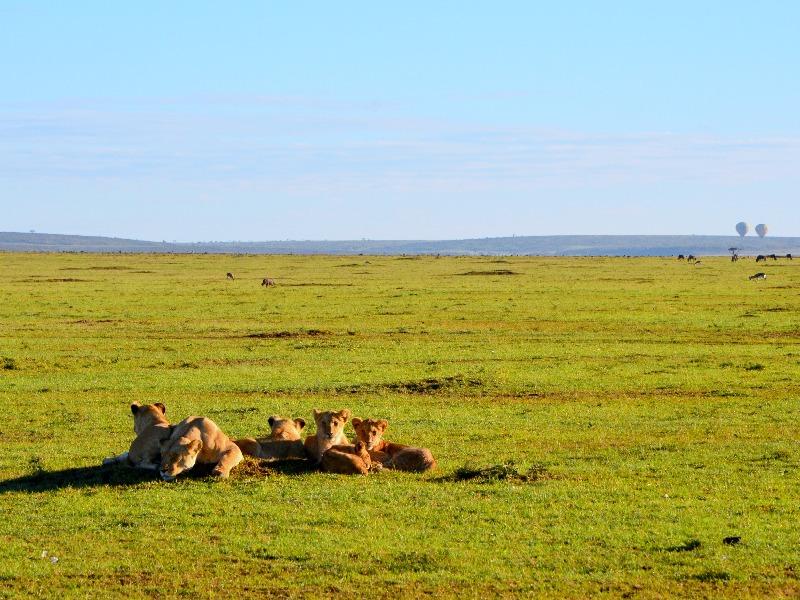Группа львов в национальном парке Масаи-Мара, Кения / Фото из Кении