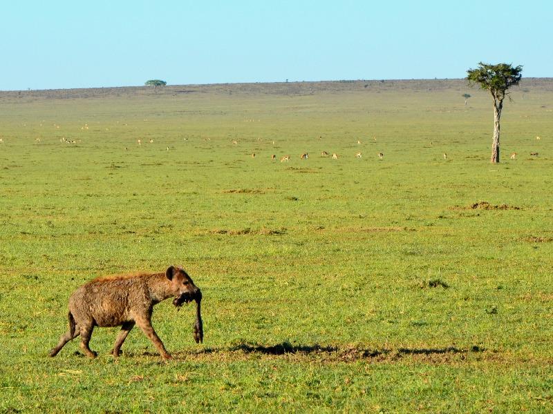 Гиена с добычей / Фото из Кении