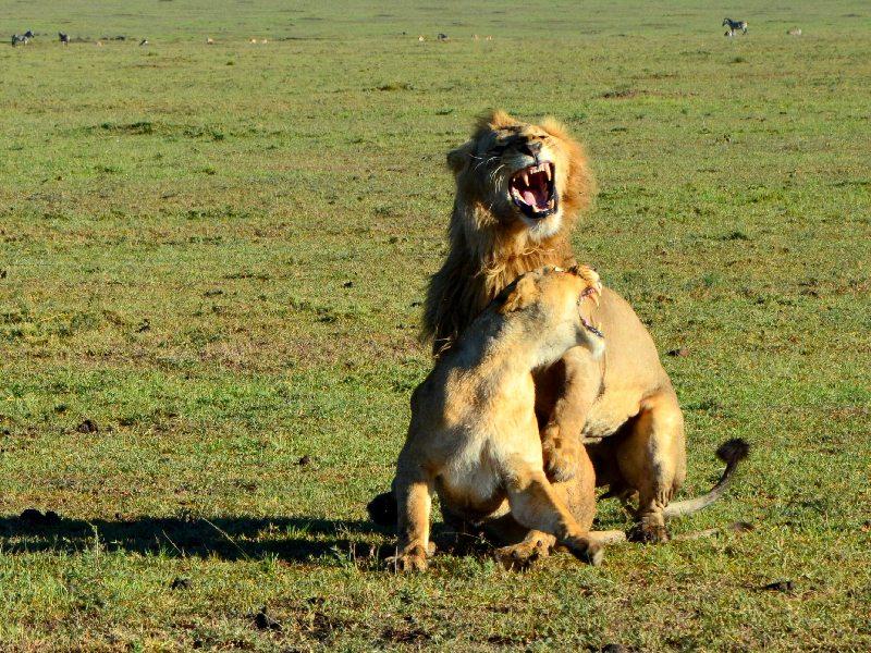 Львы в национальном парке Масаи-Мара, Кения / Фото из Кении