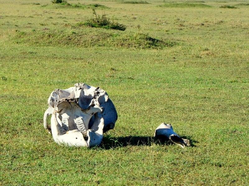 Череп в кенийской саванне / Фото из Кении