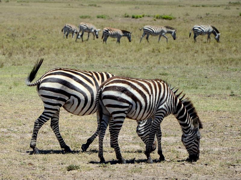 Зебры, Кения / Фото из Кении