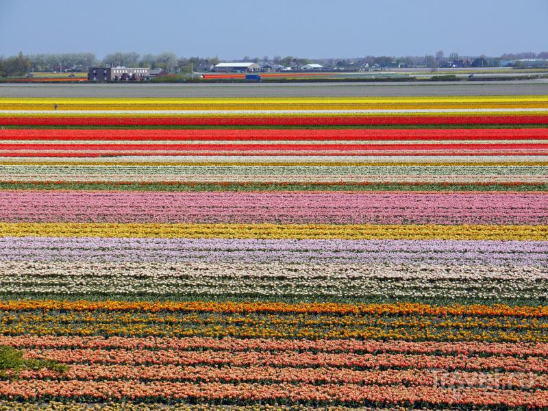 Бескрайние поля с тюльпанами и гиацинтами / Нидерланды