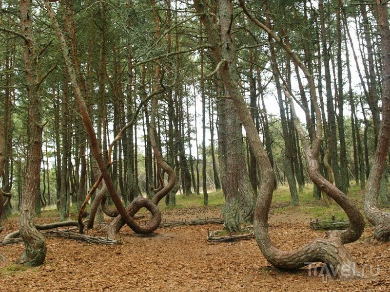 Изогнутые сосны Танцующего леса / Россия