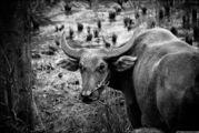 Портрет буйволицы / Индонезия