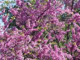 Деревья в цвету / Монако