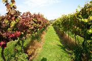 Выращивание винограда / Великобритания