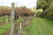 Созревание винограда / Великобритания