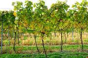 Прогулка по винограднику / Великобритания