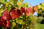 Листья винограда / Великобритания