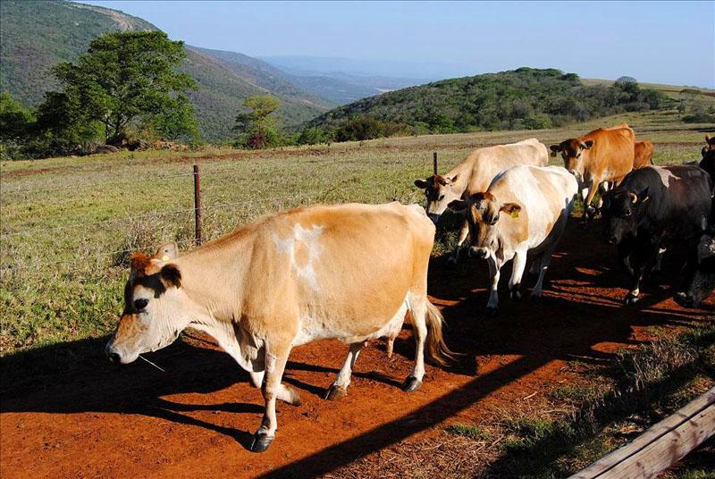Коровы, Свазиленд / Фото из Свазиленда
