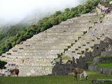 Пасутся ламы / Перу