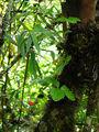 Растет земляника / Перу