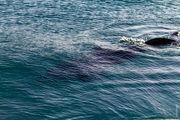 Дельфин / Израиль