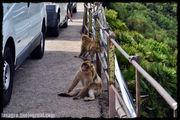 Внезапные обезьяны / Гибралтар (Брит.)