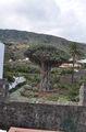 Драконовое дерево / Испания