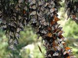 "Бабочки ""Монарх"" / США"