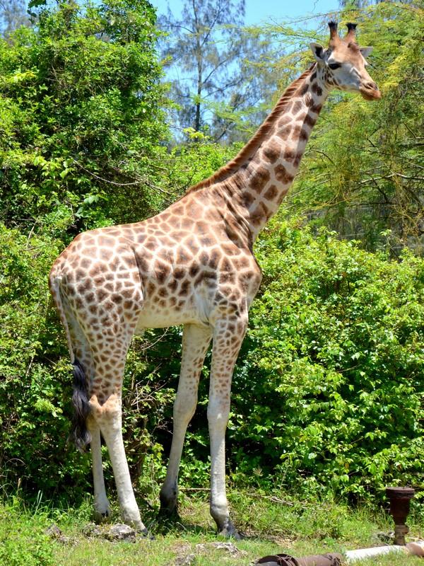 Жираф в заповеднике, Кения / Фото из Кении