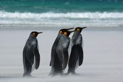 Пингвины Фолклендских островов / Антарктика