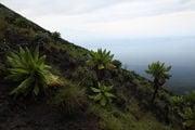 Растительность у вершины / Конго (бывш. Заир)