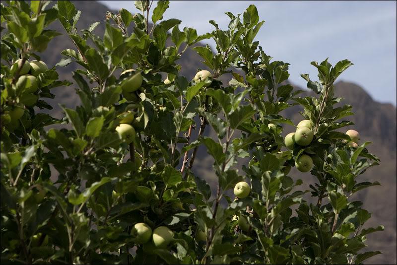 Яблоневый сад в деревне Шан-даш-Калдейраш, Кабо-Верде   / Фото из Кабо-Верде