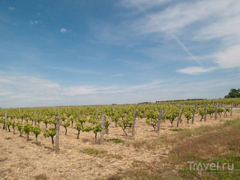 Виноградник в долине Луары / Фото из Франции