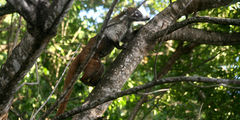 Носуха на дереве / Мексика
