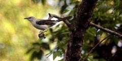 Тропический певчий пересмешник / Мексика