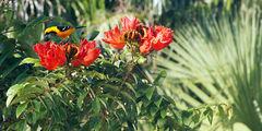 Масковый цветной трупиал / Мексика