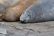 Морские слоны / Антарктика