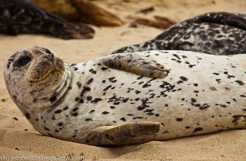 Морской котик на побережье Калифорнии / Фото из США