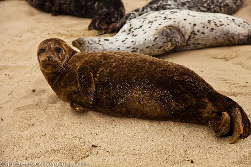 Морской котик на побережье Ла-Хойи, Калифорния / Фото из США