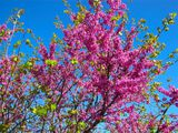 Цветущее дерево / Греция