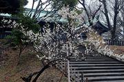 Цветение сливы / Япония