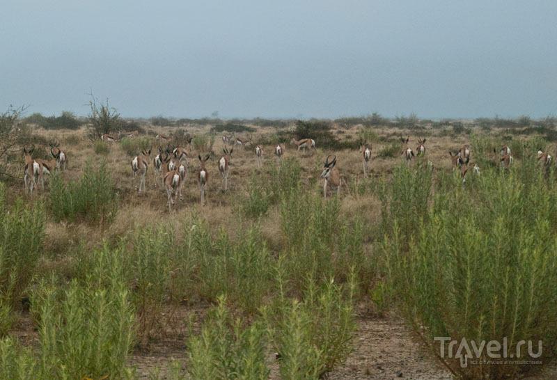 Стадо газелей / Фото из Намибии